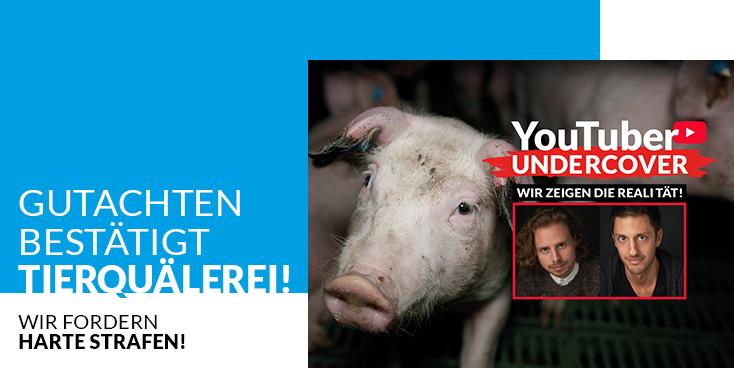 Gutachten bestätigt Tierquälerei in Schweinezucht!