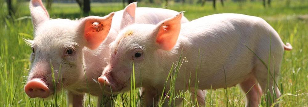 Gerettete und glückliche Schweine in Freiheit.