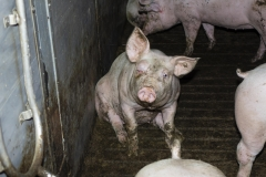 Schweinequal-3