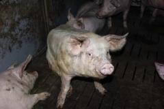 Schweinequal-4