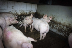Schweinequal-6