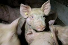 schwein-abzess-gesicht