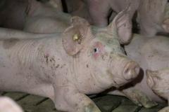 schweinemast-liegendes-schwein