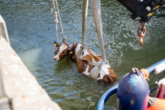 De brandweer heeft bij de Floating Farm in Rotterdam met veel moeite een koe uit de Maas gevist. Het dier viel door onbekende reden van de drijvende boerderij. Om genoeg materieel ter plaatse te krijgen werd opgeschaald naar 'middel hulpverlening'. Ook een schip van het Havenbedrijf heeft met het hijsen geholpen. De koe heeft het incident overleefd.  ANP / Hollandse Hoogte / MediaTV
