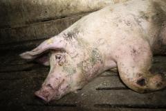 Schweinemast_Merzen-1