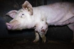 Schweinemast_Merzen-3