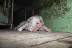Fotos-2020-10-10-Schweinemast-Schulte-Uebbing-9
