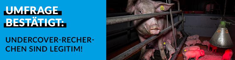 Umfrage zeigt: große Mehrheit der Bevölkerung befürwortet Undercover-Recherchen und stärkere Tierschutzkontrollen!
