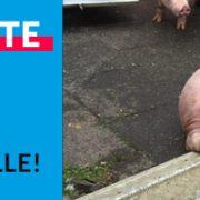 Erneut: Tiertransporter gestoppt und Tiere dramatisch verendet!