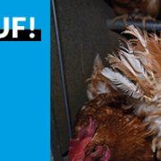 Wir decken auf: Tierquälerei für Bio-Eier!
