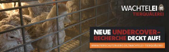 Neue Undercover-Recherche deckt auf: Wachtelei = Tierquälere