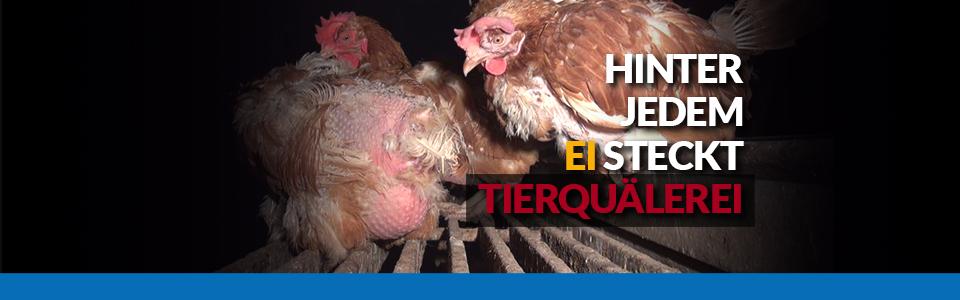 Hinter jedem Ei steckt Tierquälerei. Neue Recherche zeigt auf, wie Hühner für Bio- und Freilandeier leiden müssen.
