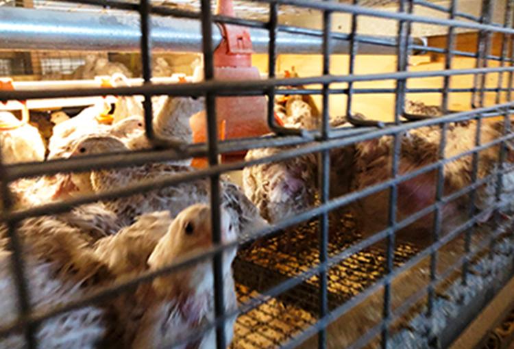 Neue Undercover-Recherche: Wachtelei = Tierquälerei