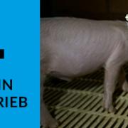 Undercover-Recherche deckt auf, wie Schweine für Tönnies gequält werden!