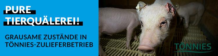 Undercover-Recherche zeigt: Tierquälerei für Tönnies! In einem Zulieferbetrieb für Tönnies herrschen grausame Zustände.