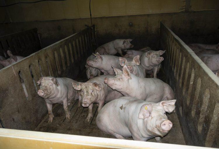 Aufgedeckt: Auch Simon-Fleisch aus Wittlich arbeitet mit der größten Schweinemast Niedersachsens zusammen – Videoaufnahmen belegen Tierquälerei – Staatsanwaltschaft ermittelt