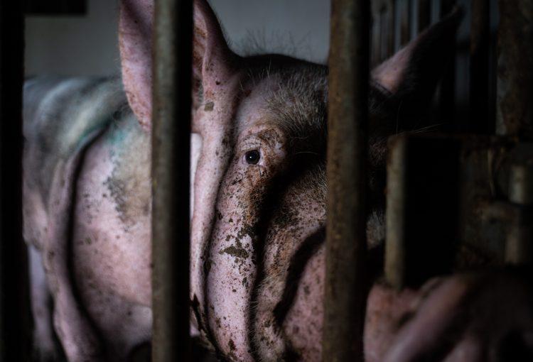 Aufgedeckt: So pervers und abartig werden Eber in Deutschland zur Ejakulation gezwungen - Deutsches Tierschutzbüro veröffentlicht erstmalig versteckte Videoaufnahmen aus Besamungsstation und erstattet Anzeige wegen sexueller Nötigung von Tieren