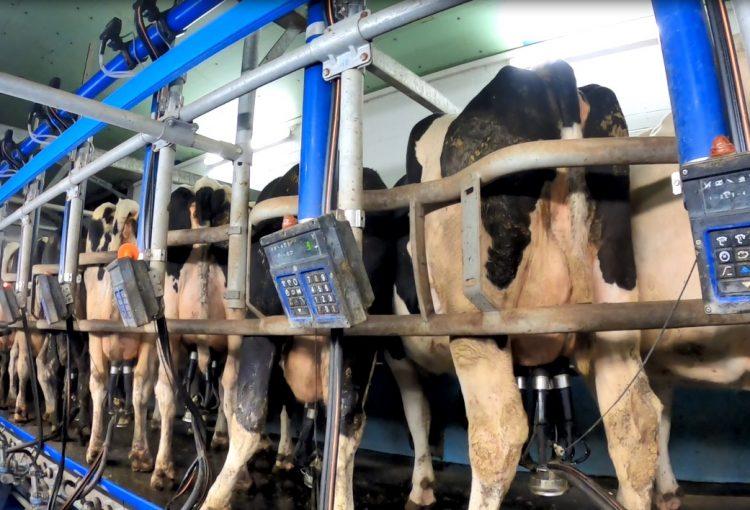 Nach Aufdeckung von Tierquälerei in einem Milchbetrieb bei Flensburg: Staatsanwaltschaft stellt das Verfahren gegen die Zahlung eines Geldbetrages ein– Deutsches Tierschutzbüro hatte auf eine härtere Strafe gehofft