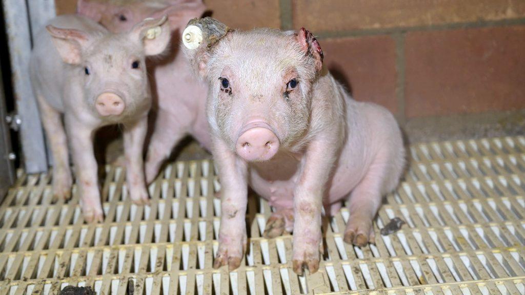 Nach Schockbildern aus Tönnies-Zulieferbetrieb: Staatsanwaltschaft Bielefeld stellt Ermittlungen wegen absurdem Vorwand ein – Deutsches Tierschutzbüro zeigt sich empört und legt Beschwerde ein