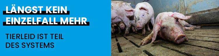 Zum 7. Mal: Erneut Schweinequal aufgedeckt