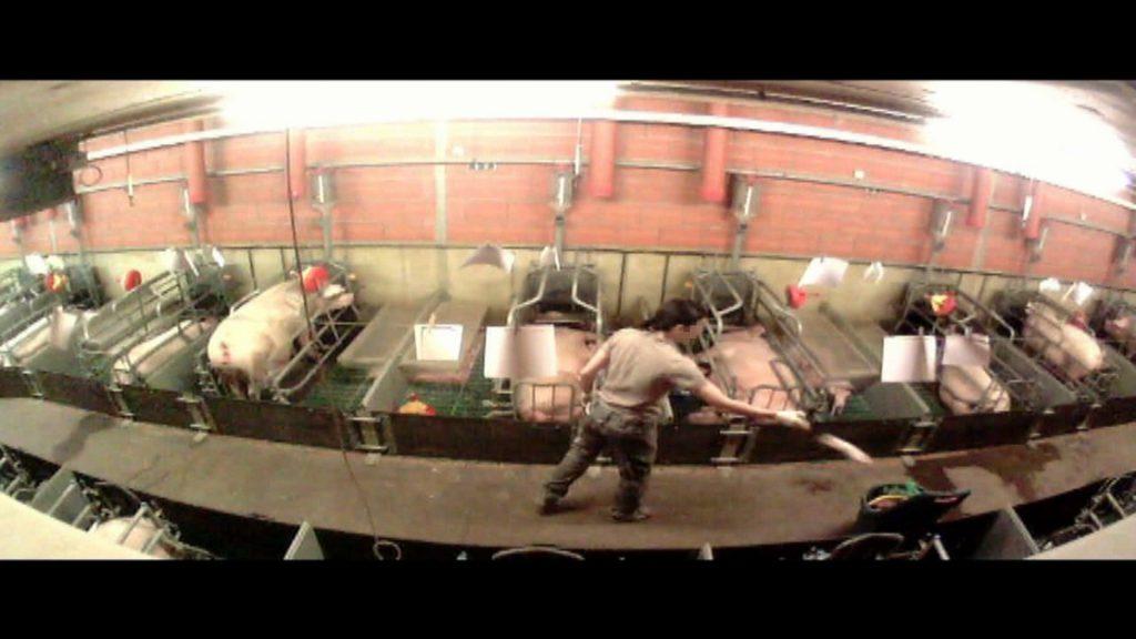 Totgeschlagene Ferkel: Versteckte Kameras dokumentieren massive Gesetzesverstöße in Ferkelzuchtbetrieb in Zeven – nach Strafanzeige durch das Deutsches Tierschutzbüro wurden die Täter*innen nun verurteilt