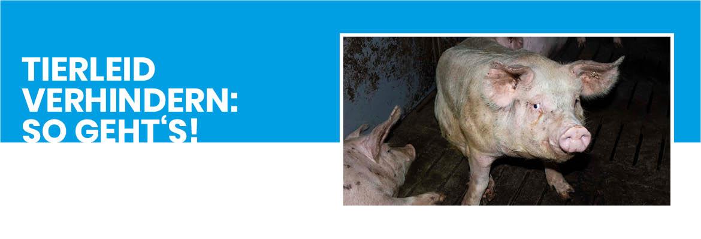 """Grafik mit einem Schwein und der Aufschrift """"Tierleid verhindern: So geht's!"""""""
