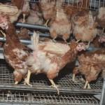 Hühnerbefreiung-13