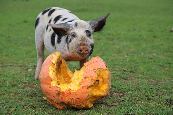Schweine-06.10.2013-(42)