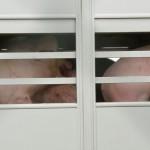 Tierschutz Schwein 0259 Ferkel Mast