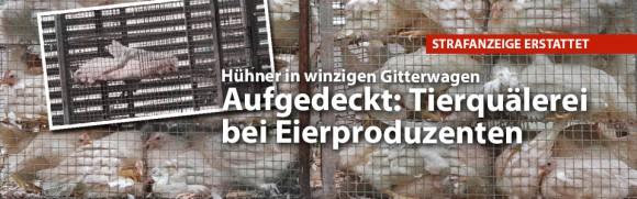 Aufgedeckt: Tierquälerei bei Eierproduzenten – Strafanzeige erstattet