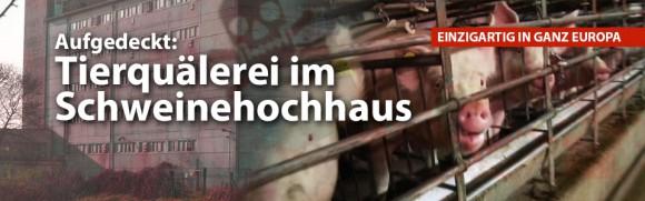 Aufgedeckt: Tierquälerei im Schweinehochhaus